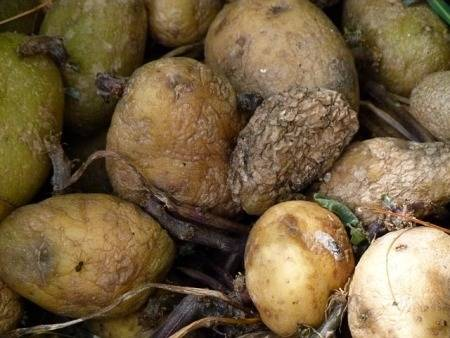 how-to-get-rid-of-rotten-potato-smell