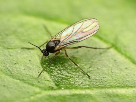 how-to-get-rid-of-gnats-without-vinegar